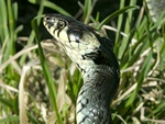 Snok (Natrix natrix)